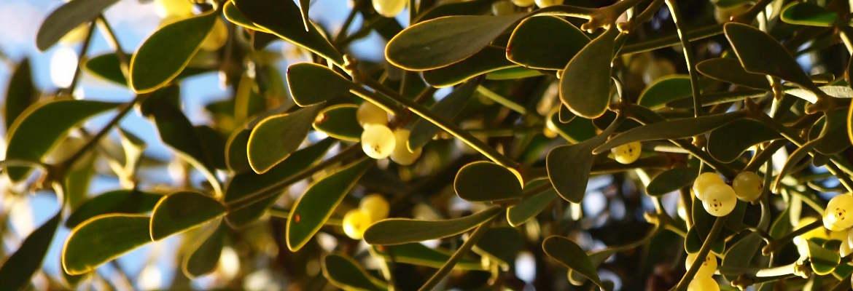 mistletoe1-1170x400