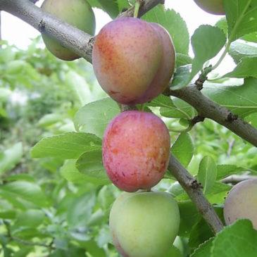 Trepleie for alle –  økologisk, matnyttig, hands-on